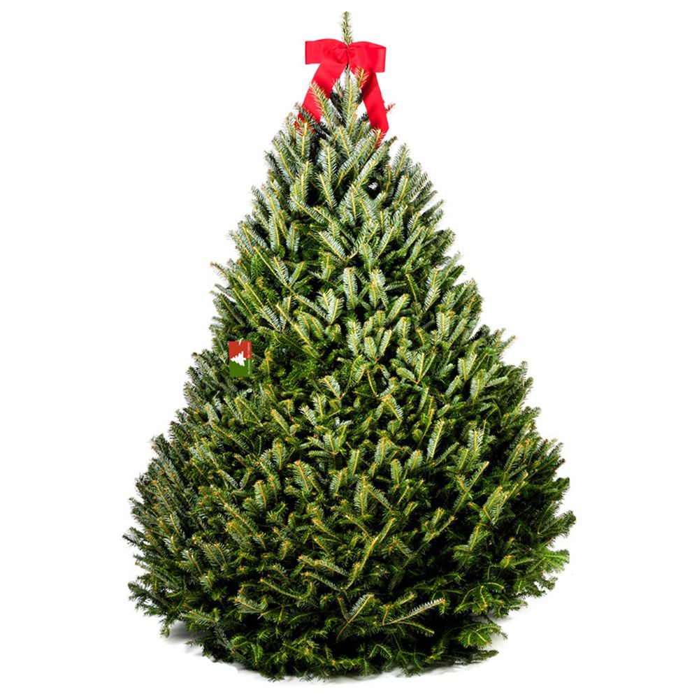 434-005 - The Christmas Tree Company 8.5-9' Fresh Cut Premium Grade Fraser Fir Christmas Tree w/ Disposal Bag