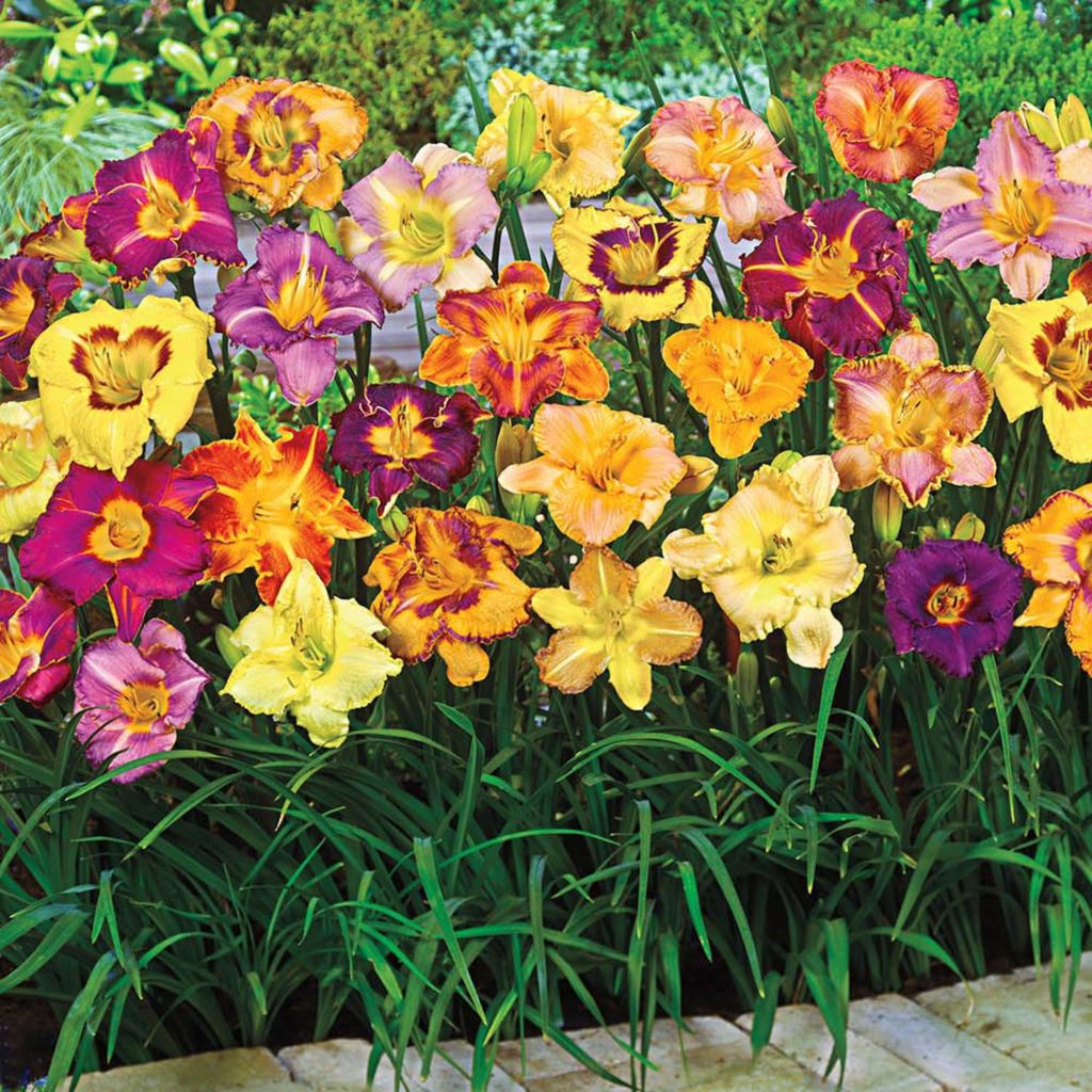 443-133 - Spring Hill Nurseries 12-Piece Reblooming Daylily Collection