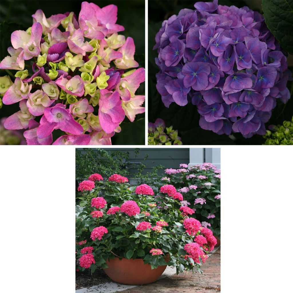 443-137 - Spring Hill Nurseries Three-Piece Cityline® Hydrangea Collection