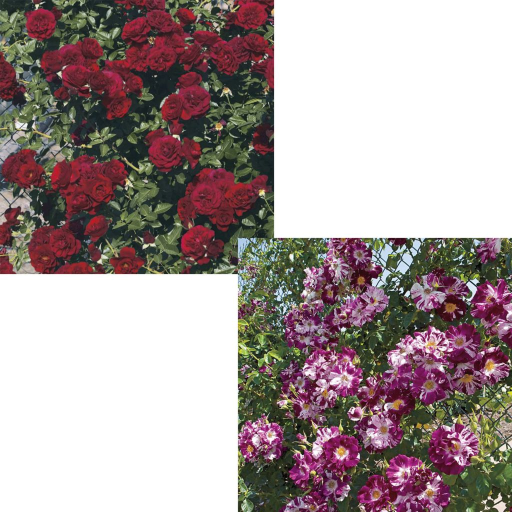 "443-160 - Spring Hill Nurseries ""Purple Splash"" & ""Valentine's Day"" Reblooming Climbing Rose Duo"