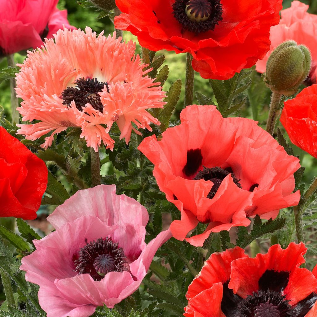443-161 - Spring Hill Nurseries Six-Piece Exotic Hybrid Poppy Mix Collection
