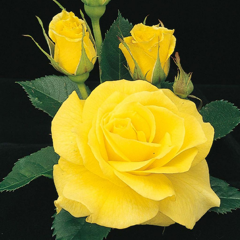 "443-396 - Spring Hill Nurseries Choice of 36"" ""Sunsprite"" or ""Chihuly"" Tree Rose"