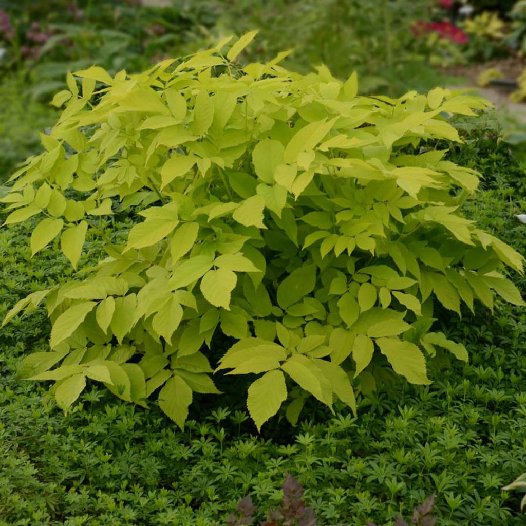 "443-400 - Spring Hill Nurseries Three-Piece ""Sun King"" Aralia Collection"