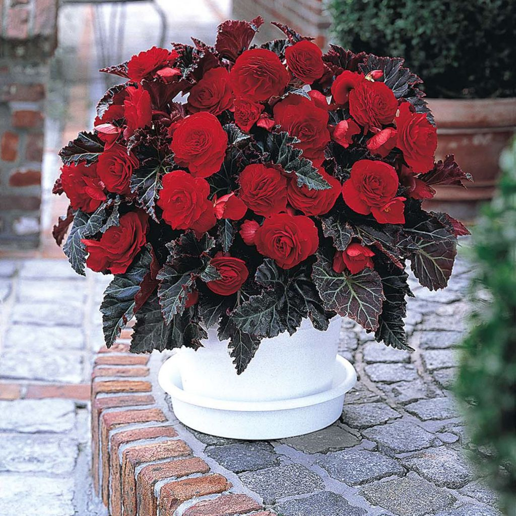 "443-406 - Spring Hill Nurseries 10-Piece ""Switzerland"" Begonia Collection"