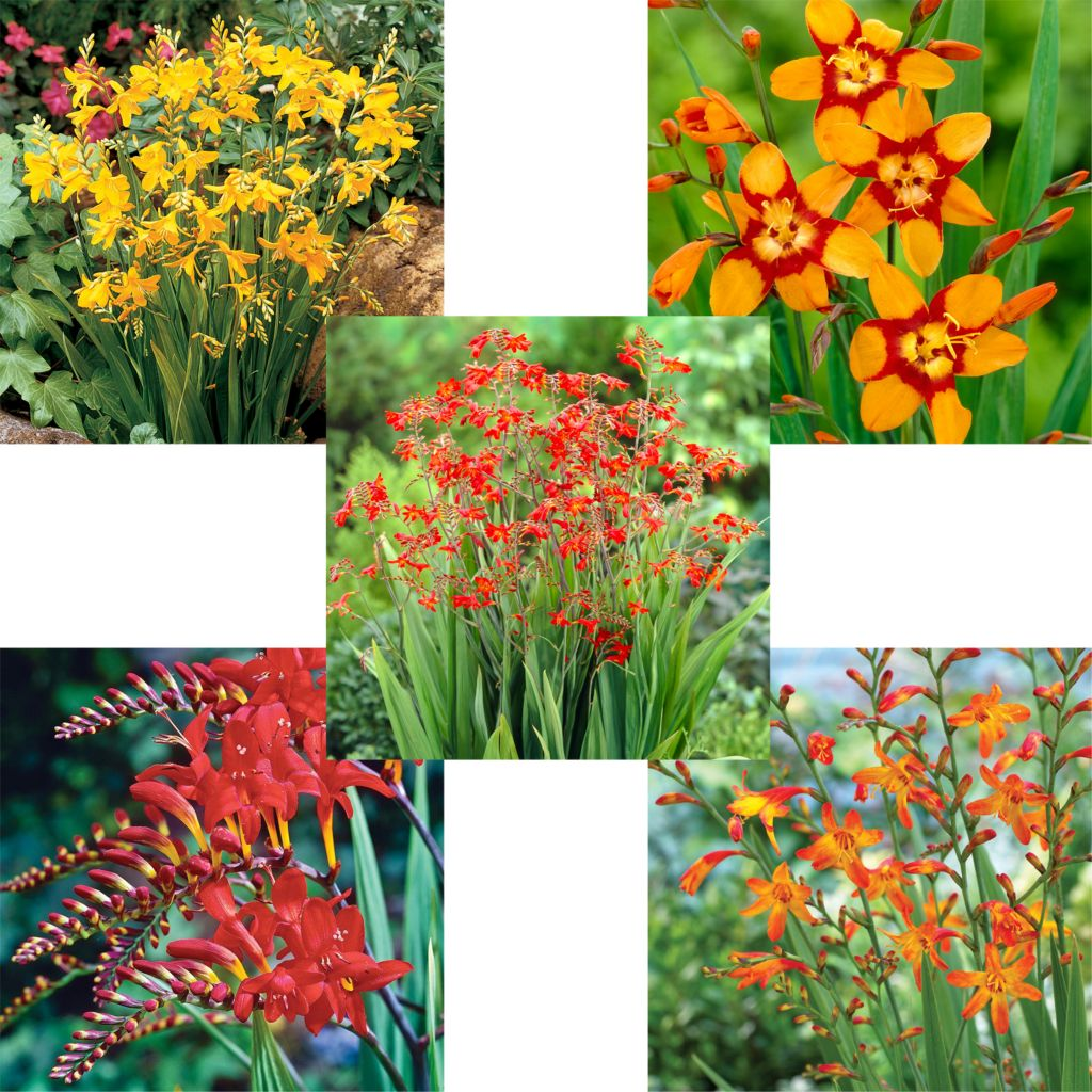 443-417 - Spring Hill Nurseries 30-Piece Hassle-Free Crocosmia Mix Collection