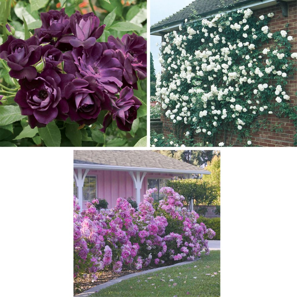 "443-525 - Spring Hill Nurseries Three-Piece Choice of Color ""Iceberg"" Rose Collection"
