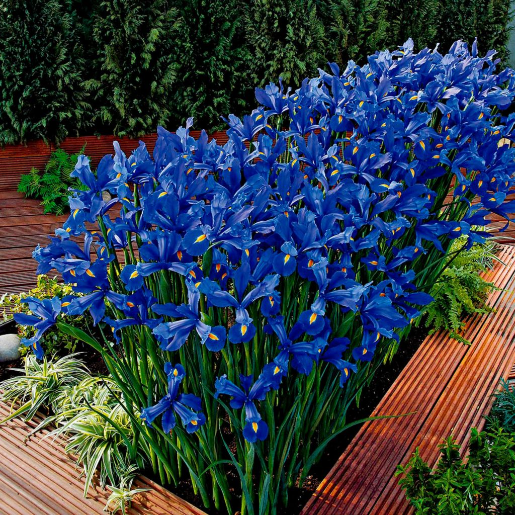 "443-527 - Spring Hill Nurseries 50-Piece ""Discovery"" Tall Dutch Iris Collection"