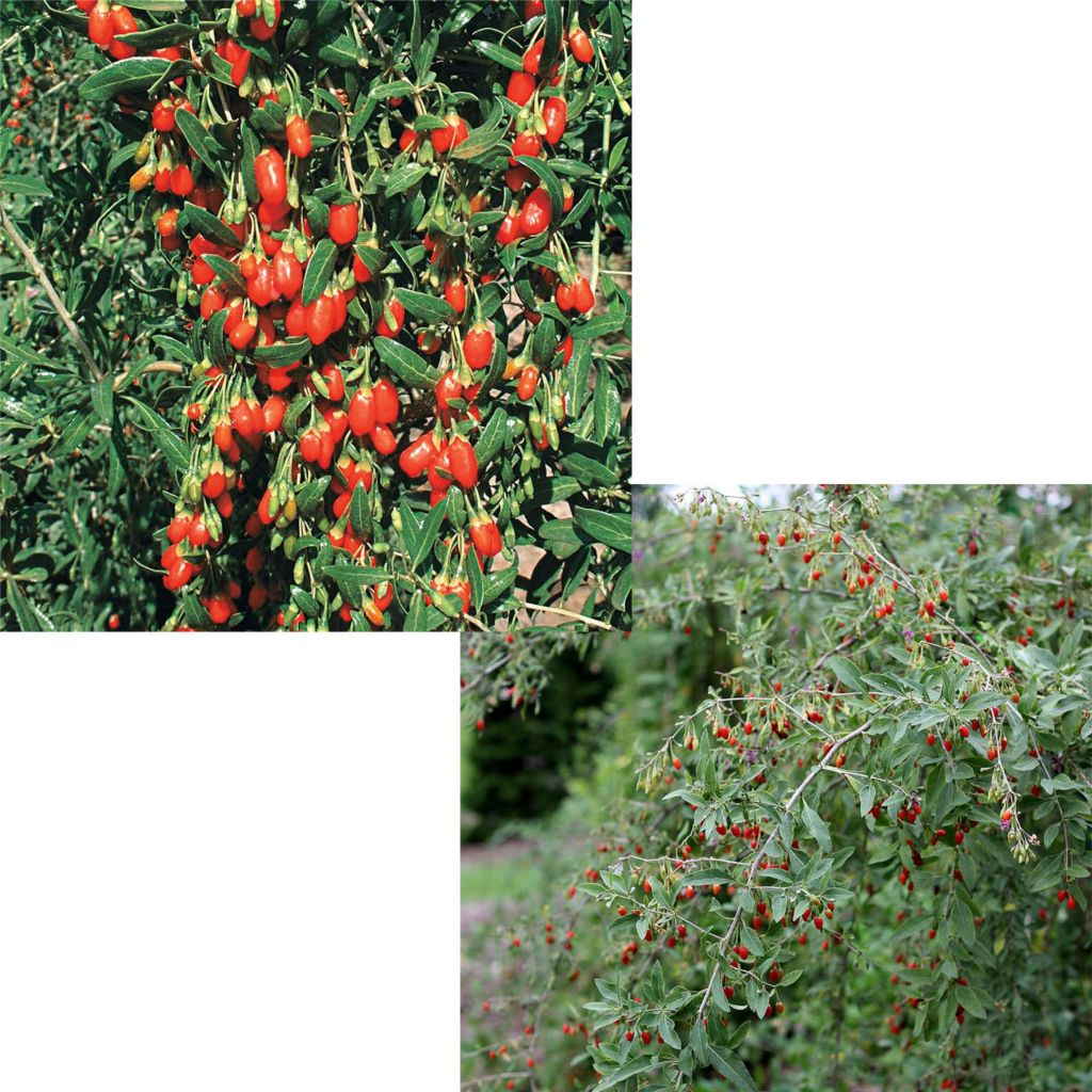 443-538 - Spring Hill Nurseries Two-Piece Goji Berry Shrub Collection