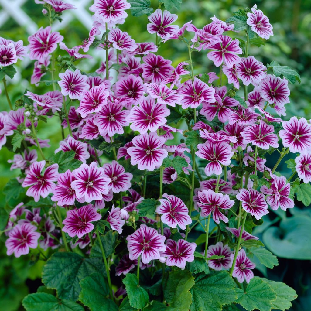 "443-539 - Spring Hill Nurseries Four-Piece ""Zebrina"" & ""Purple Satin"" Malva Collection"