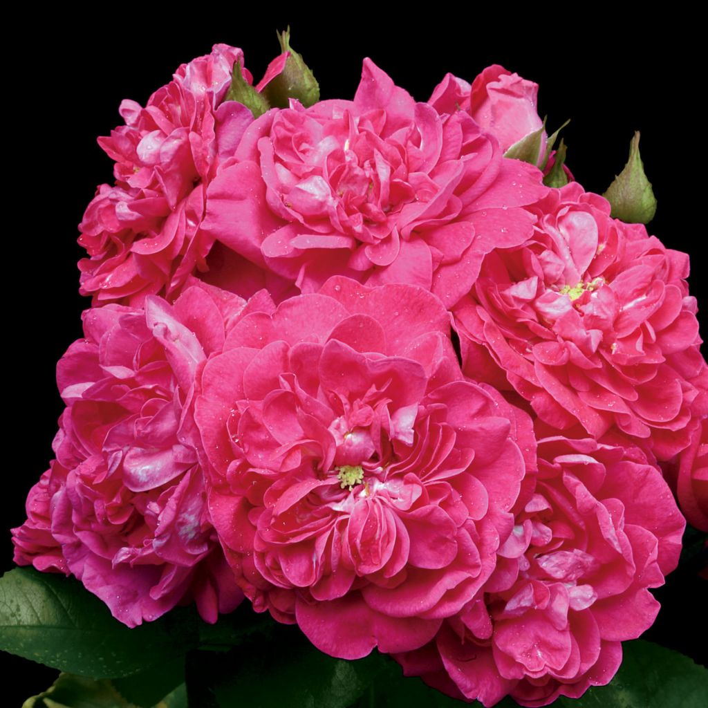 443-542 - Spring Hill Nurseries Four-Piece Party Hardy™ Shrub Rose Collection