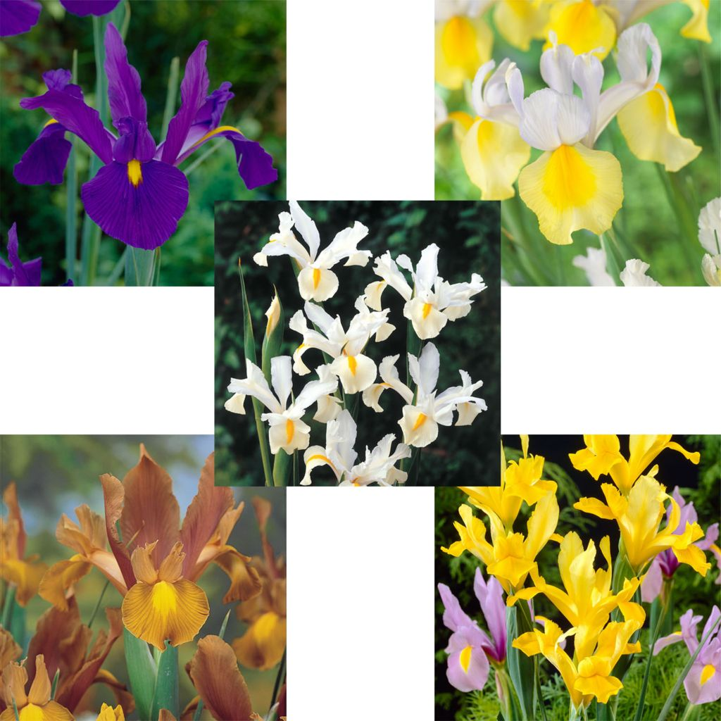 443-545 - Spring Hill Nurseries 100-Piece Dutch Iris Collection