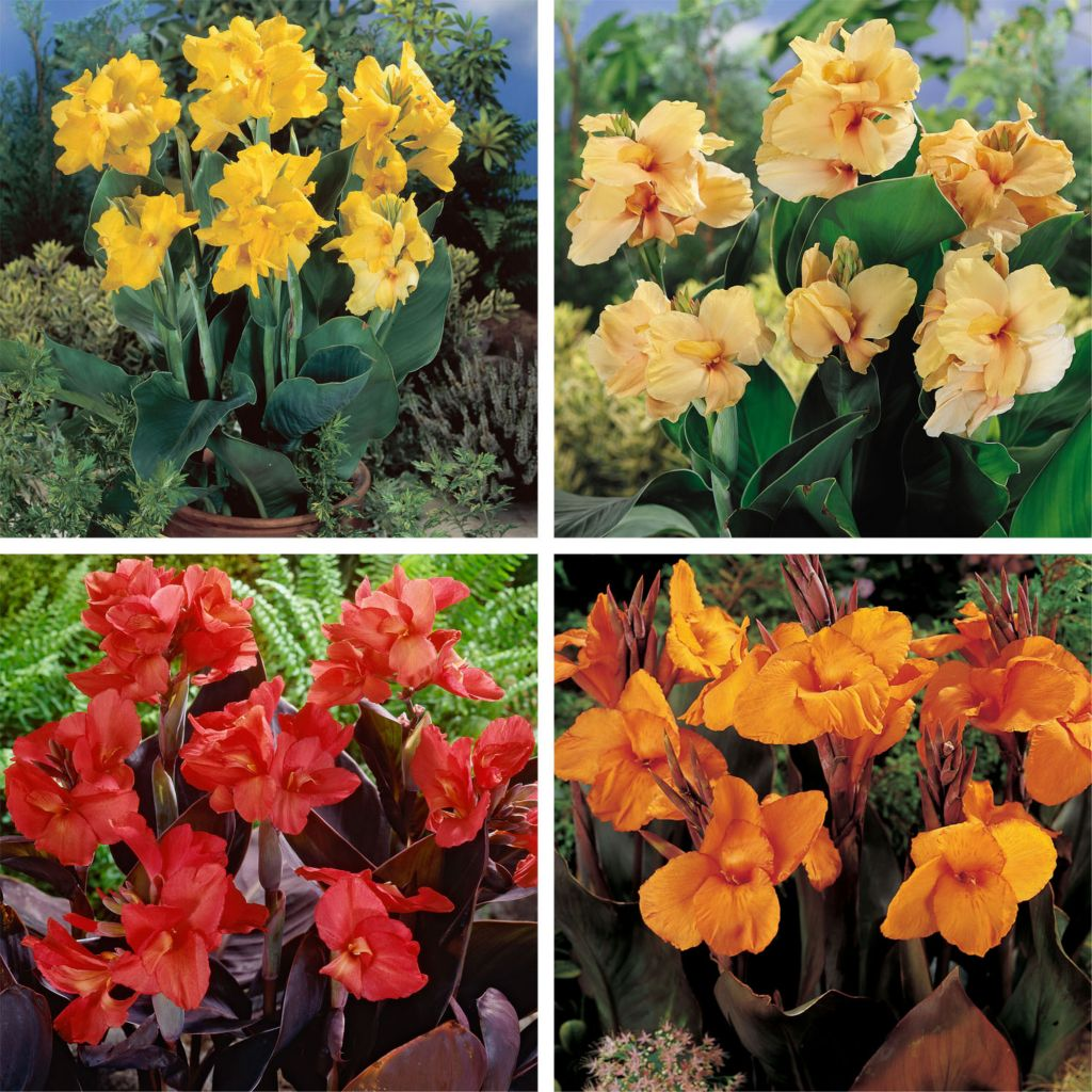 443-546 - Spring Hill Nurseries Four-Piece Dwarf Canna Collection