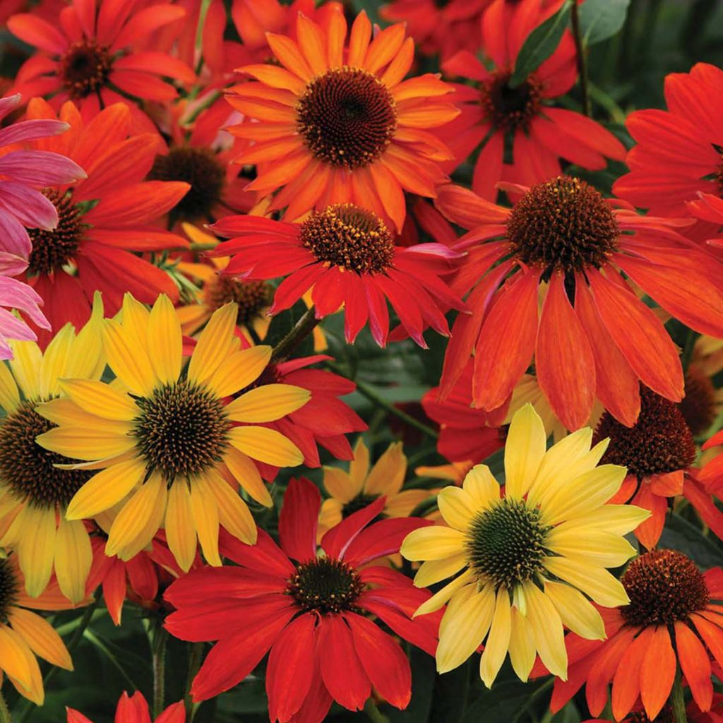 443-547 - Spring Hill Nurseries 10-Piece Butterfly Hybrid Coneflower Mix Collection
