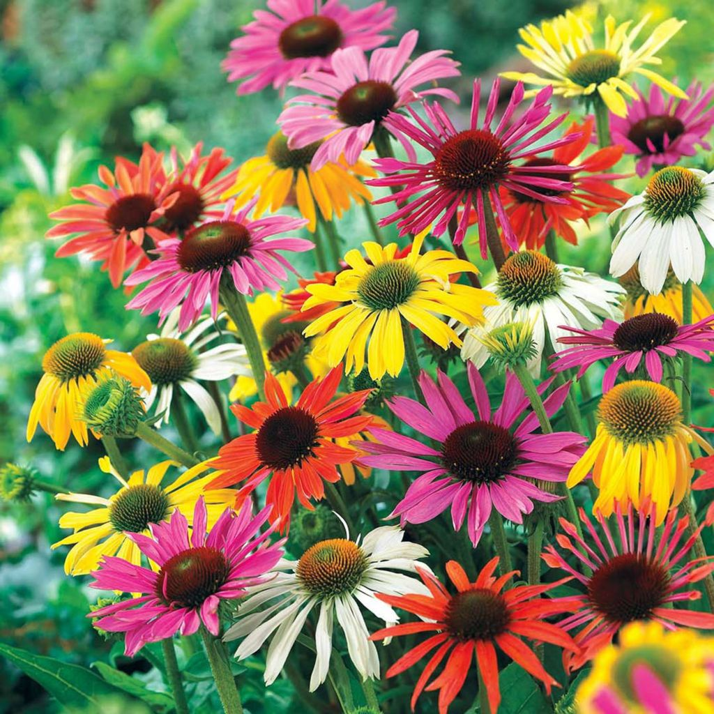 443-548 - Spring Hill Nurseries Five-Piece Butterfly Hybrid Coneflower Mix Collection