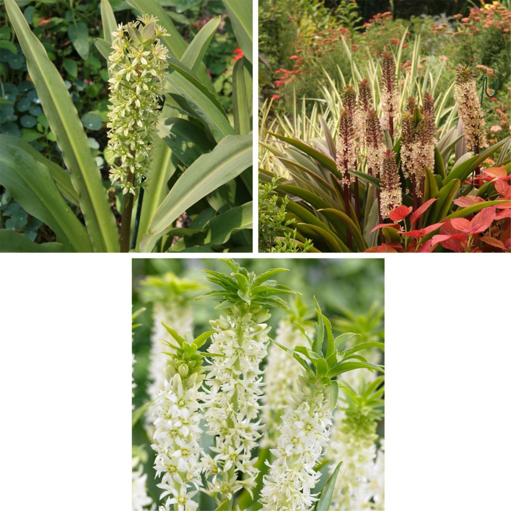 443-549 - Spring Hill Nurseries Three-Piece Tropical Pineapple Lily Collection