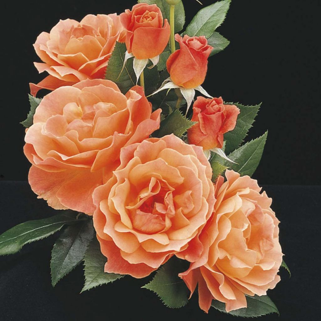 "443-551 - Spring Hill Nurseries Four-Piece Choice of ""Livin Easy"" or ""Easy Does It"" Hedge Rose Set"