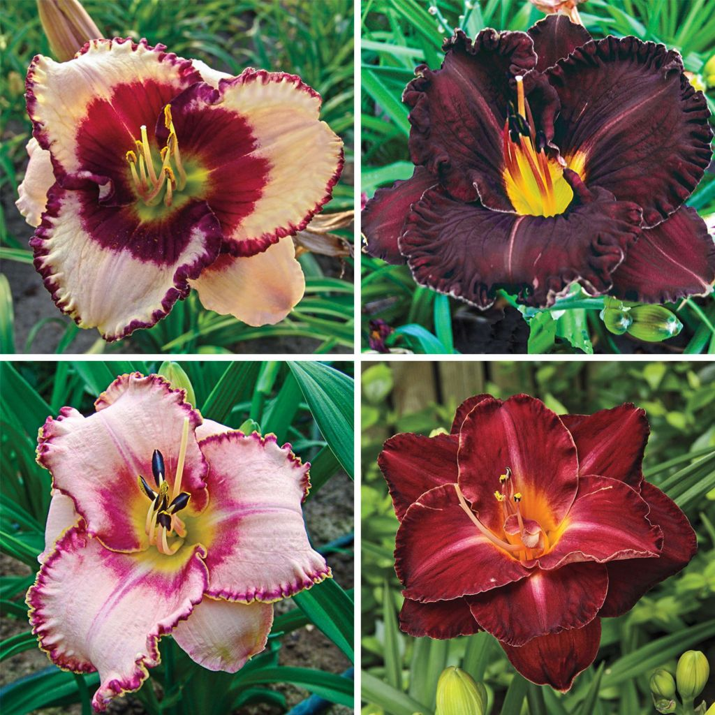 443-556 - Spring Hill Nurseries Four-Piece Reblooming Tetraploid Daylily Collection