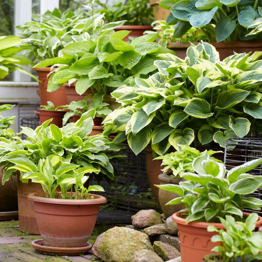443-563 - Spring Hill Nurseries 10-Piece Hosta Mix Collection