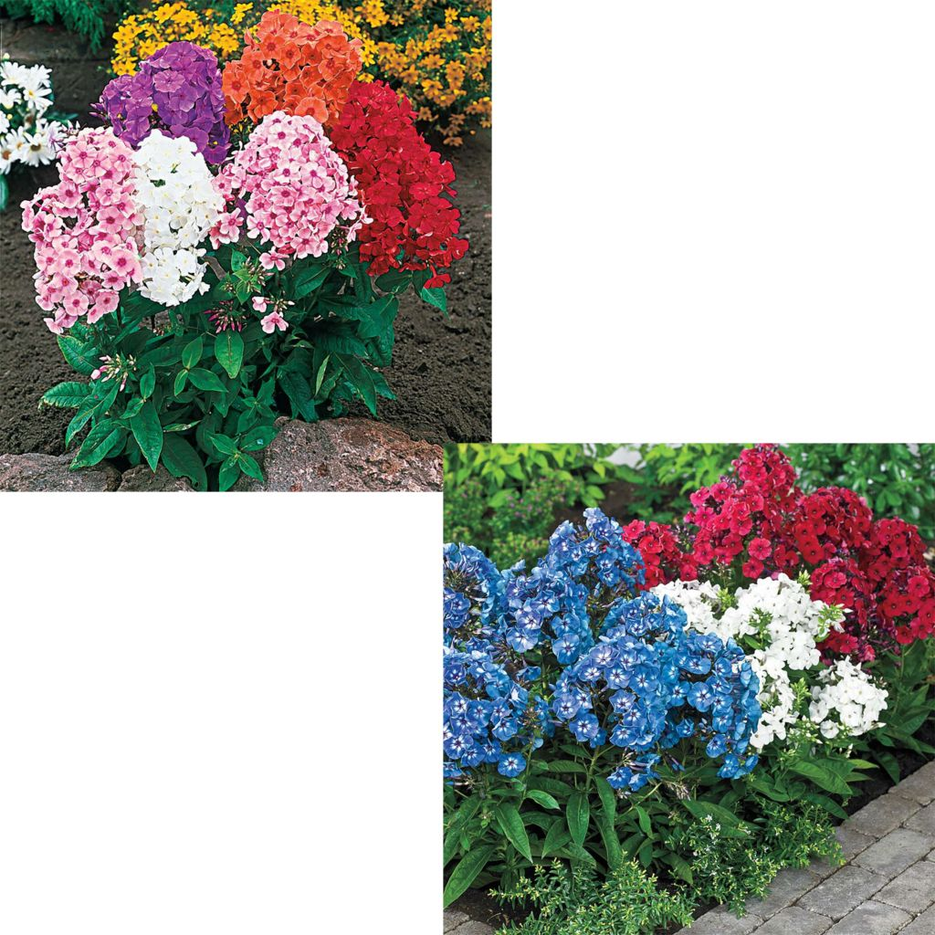 443-607 - Spring Hill Nurseries 10-Piece Show-Stopping Tall Phlox Mix Collection