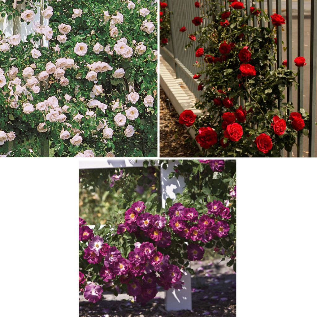 "443-611 - Spring Hill Nurseries Three-Piece ""La Fiesta"" Climbing Rose Collection"