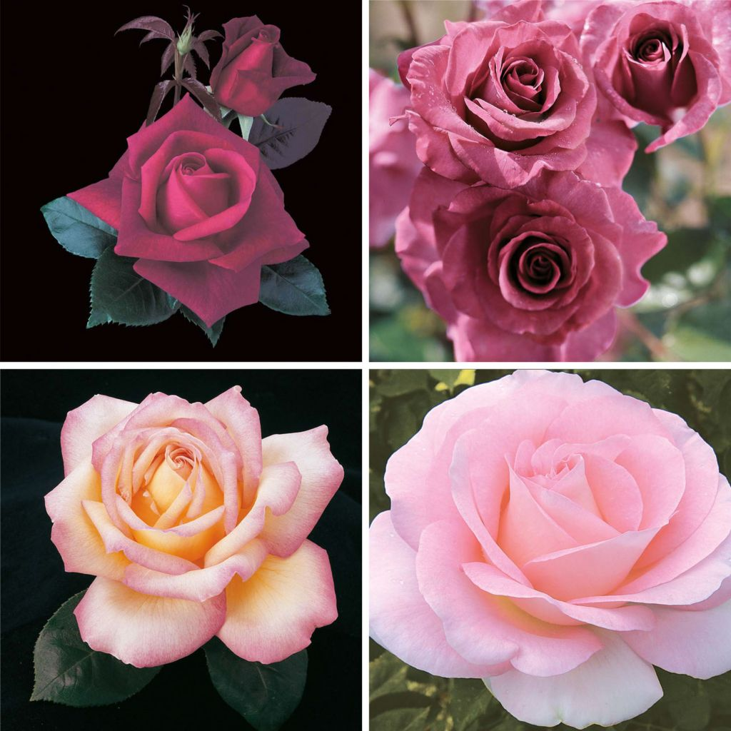 "443-612 - Spring Hill Nurseries Four-Piece Choice of ""Pretty Pinks"" or ""Perfection"" Rose Garden Set"