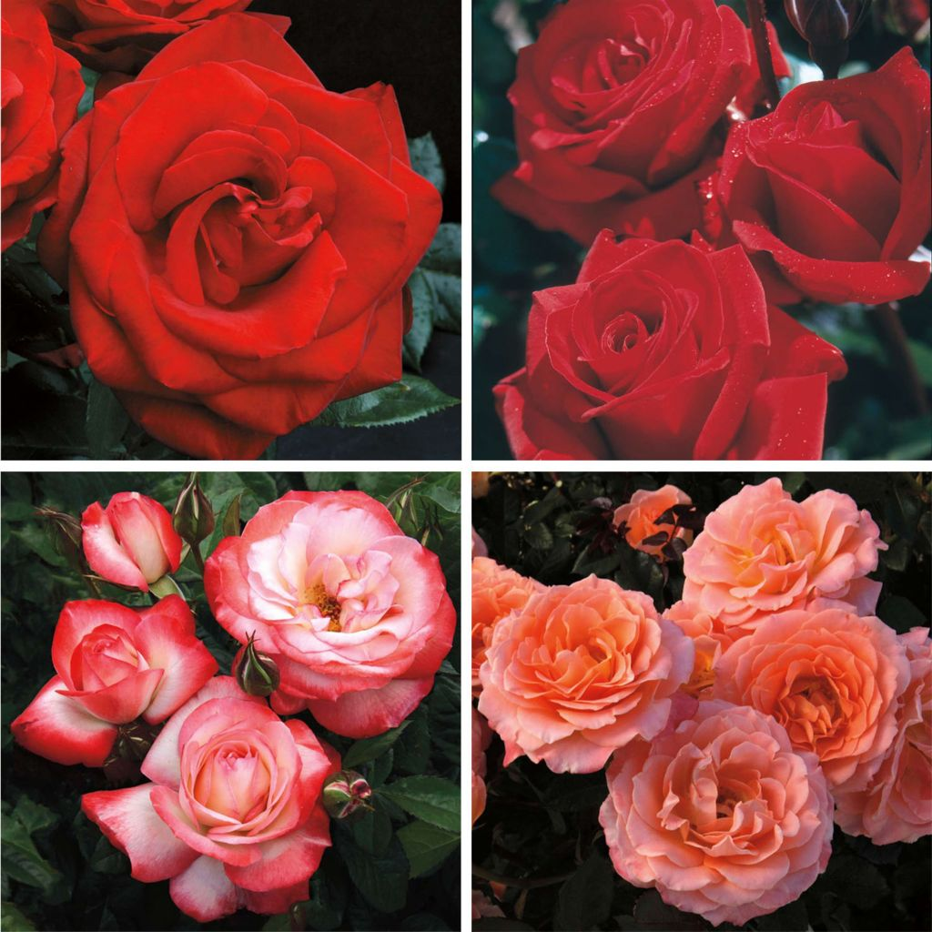 "443-617 - Spring Hill Nurseries Four-Piece Choice of ""Summer Sunshine"" or ""Dramatic Reds"" Rose Garden Set"