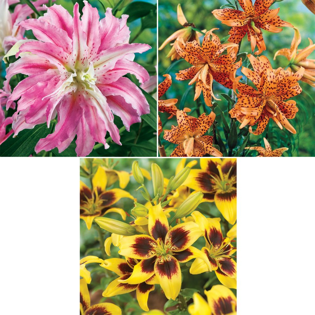 "443-634 - Spring Hill Nurseries 10-Piece ""Pieton"", ""Flore Pleno"" & ""Broken Heart"" Lily Collection"
