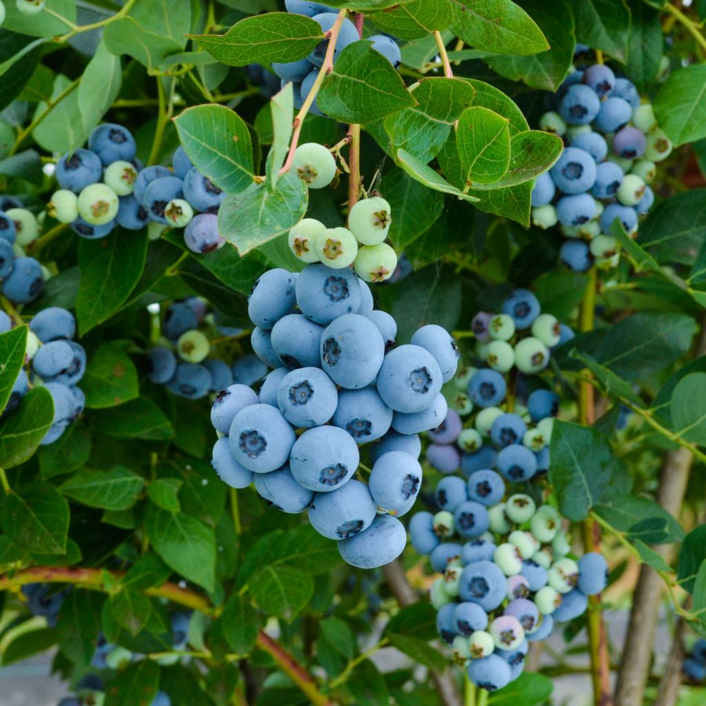 "443-635 - Spring Hill Nurseries Three-Piece ""Chandler"" Blueberry Collection"