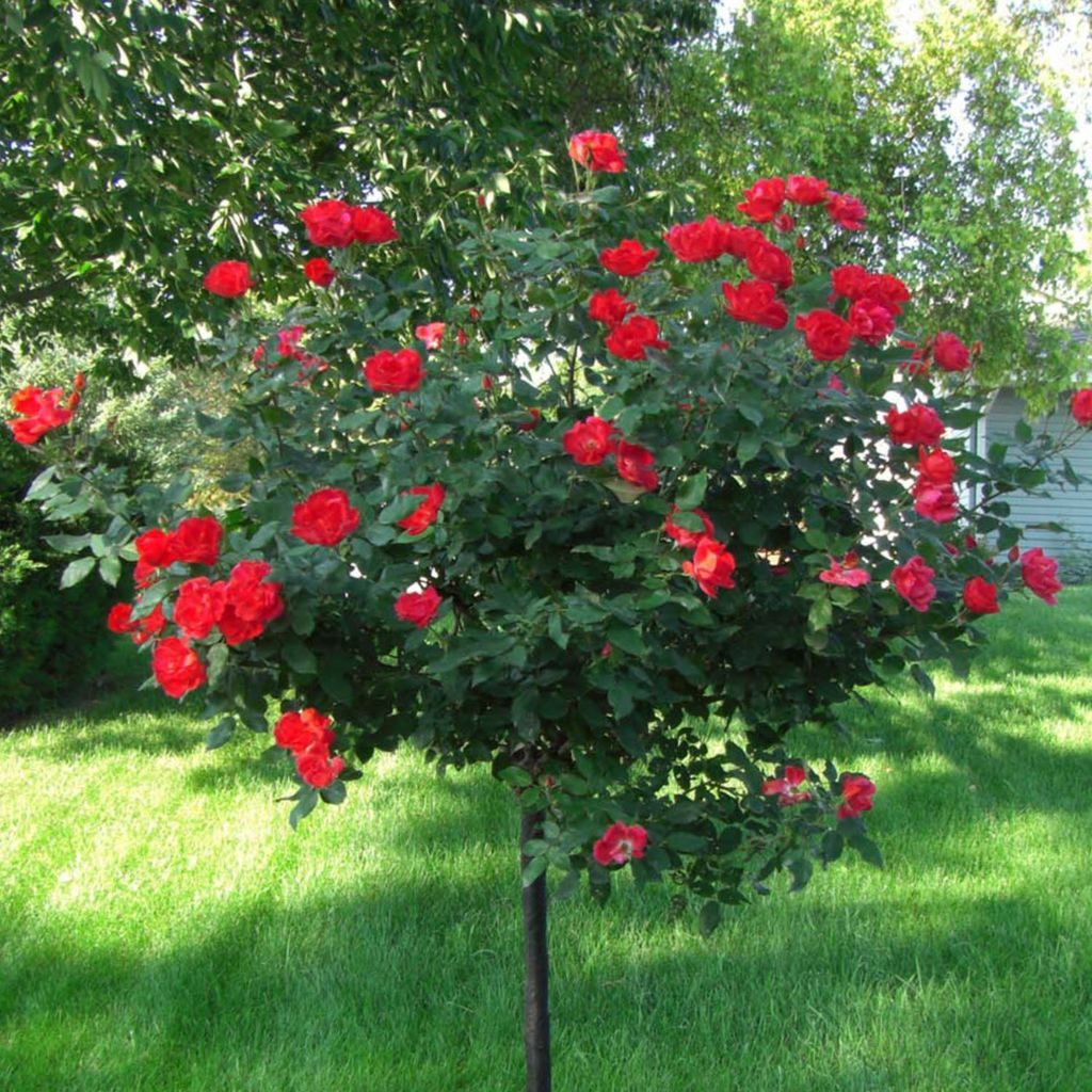 "443-978 - Spring Hill Nurseries Choice of 36"" Red or Pink Home Run® Tree Rose"