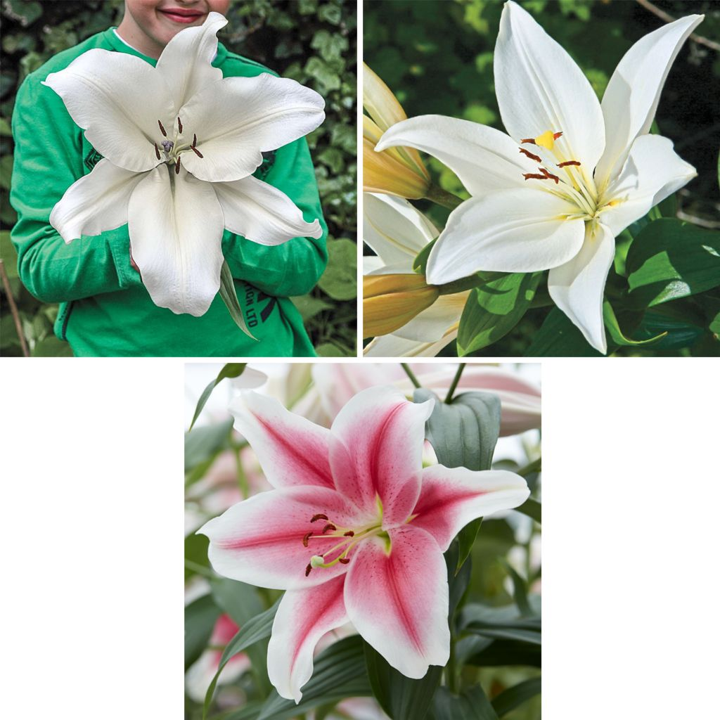 444-121 - Spring Hill Nurseries Nine-Piece Fragrant Dinner Plate Hybrid Lily Collection