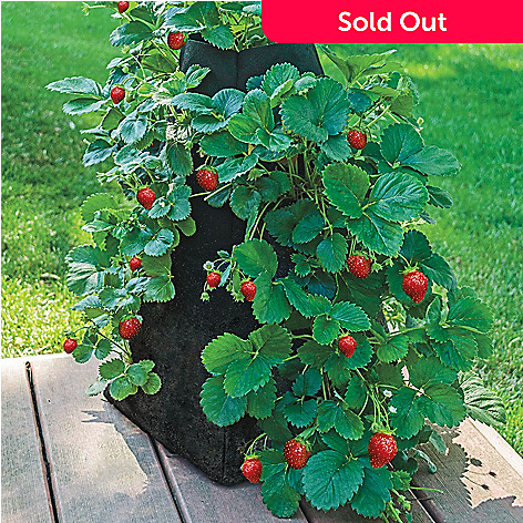 443-140 - Spring Hill Nurseries 20-Piece Ozark Beauty Strawberry Plant Collection w/ Pyramid Planter