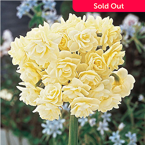 443-163 - Spring Hill Nurseries Ten-Piece ''Summer Cheer'' Daffodil Collection
