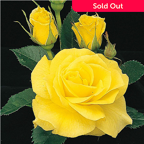 443-396 - Spring Hill Nurseries Choice of 36'' ''Sunsprite'' or ''Chihuly'' Tree Rose