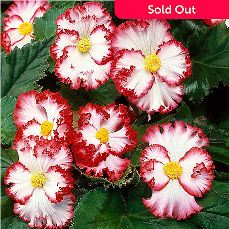 443-404 - Spring Hill Nurseries 10-Piece ''Crispa Marginata White-Red'' Begonia Collection