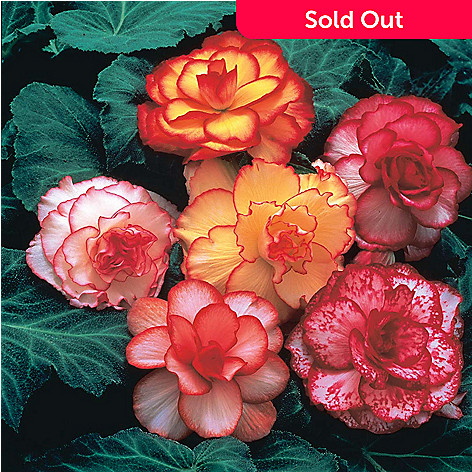 443-405 - Spring Hill Nurseries 10-Piece ''Picotee'' Begonia Mix Collection