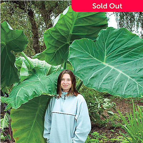 443-412 - Spring Hill Nurseries Three-Piece ''Thailand Giant Strain'' Elephant Ear Set
