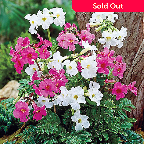 443-526 - Spring Hill Nurseries 10-Piece Flowering Hardy Fern Collection