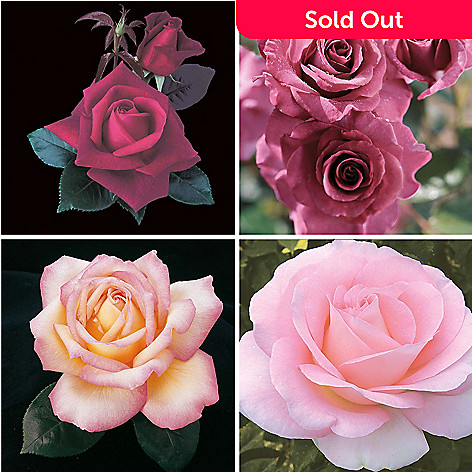 443-612 - Spring Hill Nurseries Four-Piece Choice of ''Pretty Pinks'' or ''Perfection'' Rose Garden Set