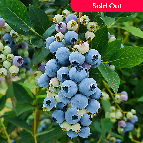 443-636 - Spring Hill Nurseries Three-Piece Choice of ''Northblue'' or ''Sunshine Blue'' Blueberry Set